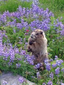 marmot-and-lupine