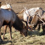 Elk grazing on hay