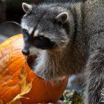 Raccoon at Northwest Trek