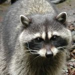 Raccoon at Northwest Trek and Wildlife Park