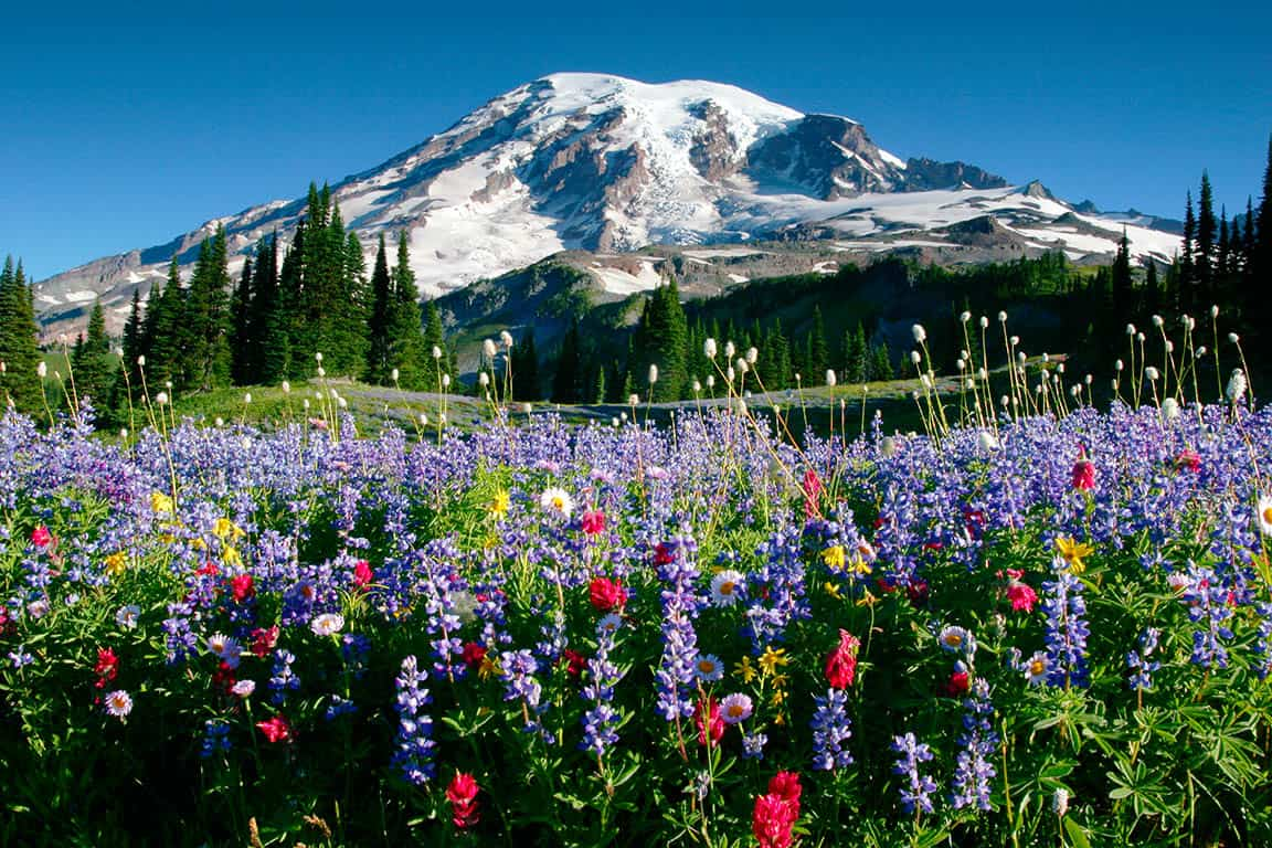 Mount Rainier above meadows of aster, lupine, paintbrush, and more