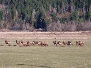 Elk @ Randle - Dave Garoutte