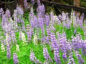 White lupine with purple lupine - Edgar rock