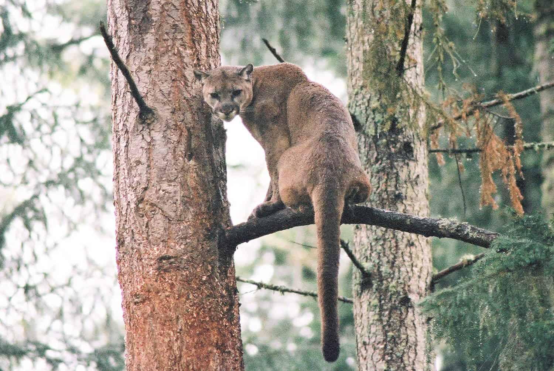 Cougar at Northwest Trek Wildlife Park