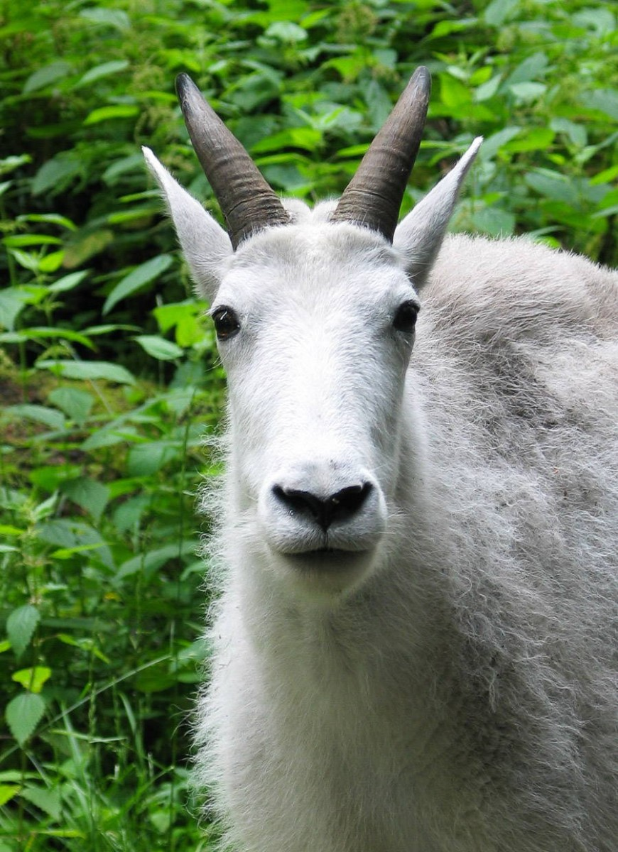 A mountain goat looks towards the camera at Northwest Trek Wildlife Park
