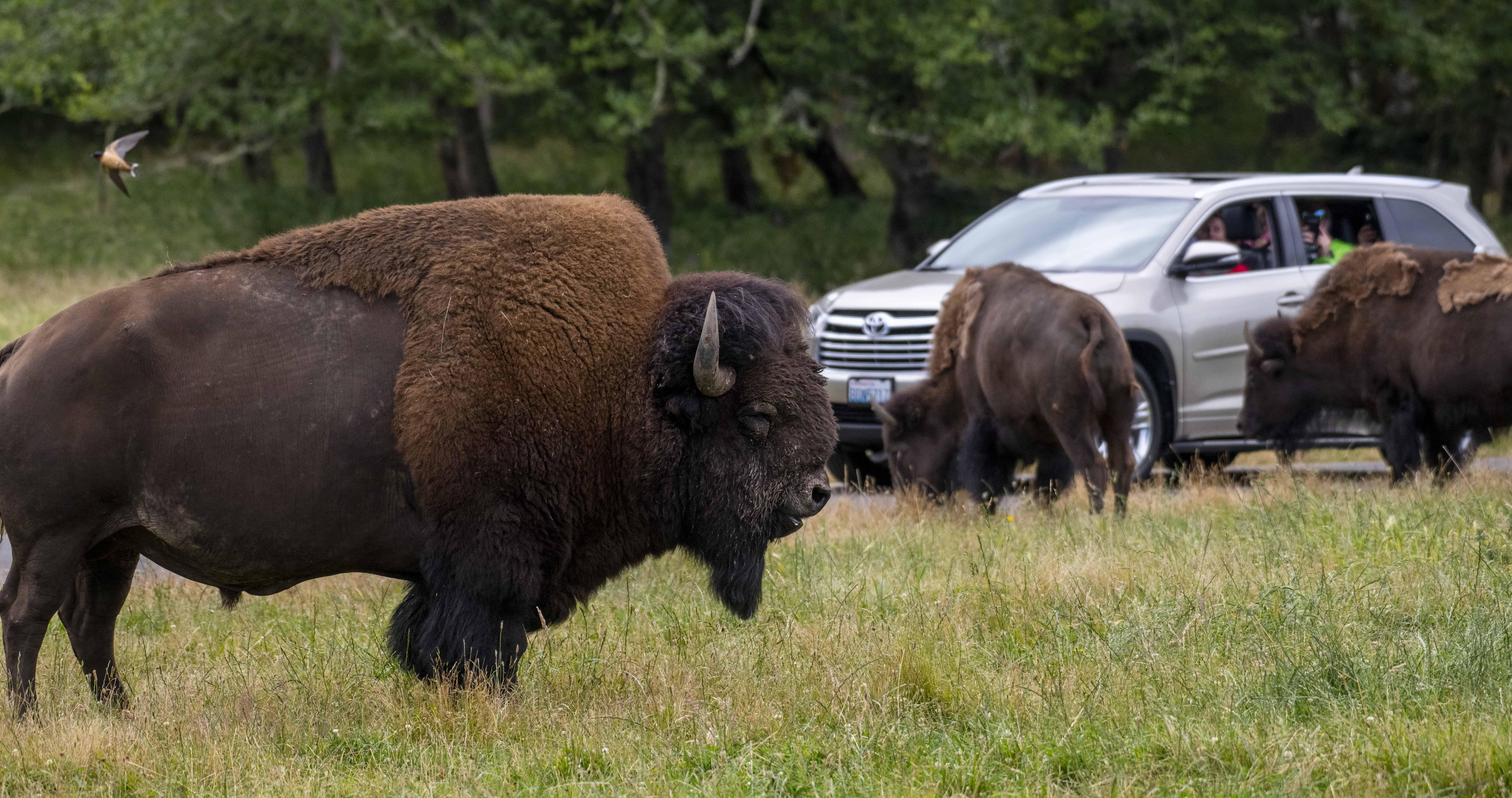 Bison graze in the meadow on a Wild Drive Tour at Northwest Trek Wildlife Park