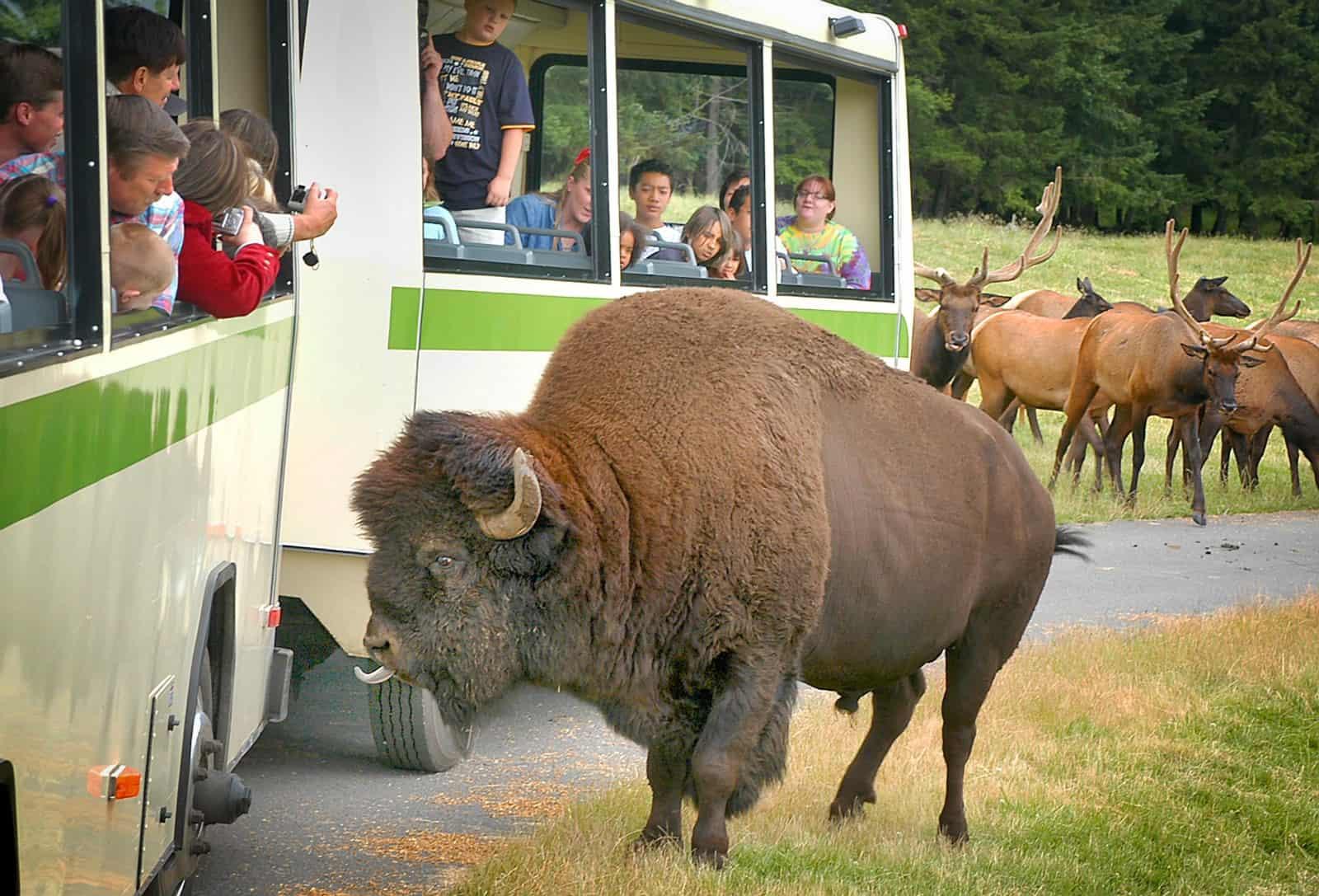 Bison at Northwest Trek and Wildlife Park