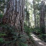 impressive old-growth forest on Cowlitz Divide