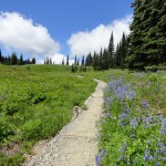 lupines line the way at Indian Henry's Hunting Ground