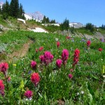 Indian Paintbrush on Golden Gate Trail