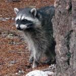 A raccoon at Longmire