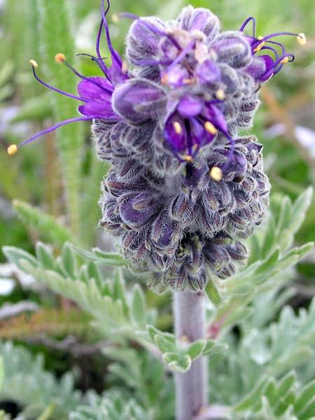 Alpine Phaceliab
