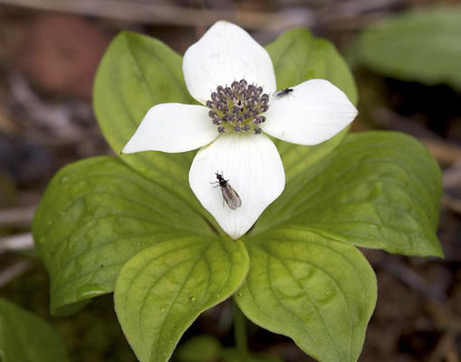 Bunchberry, Canadian Dogwood