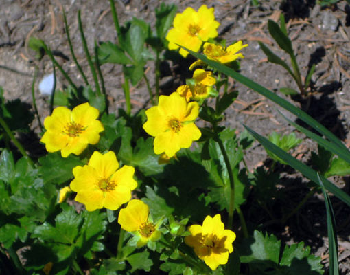 Fan Leaf Cinquefoil