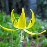 Lily wildflowers