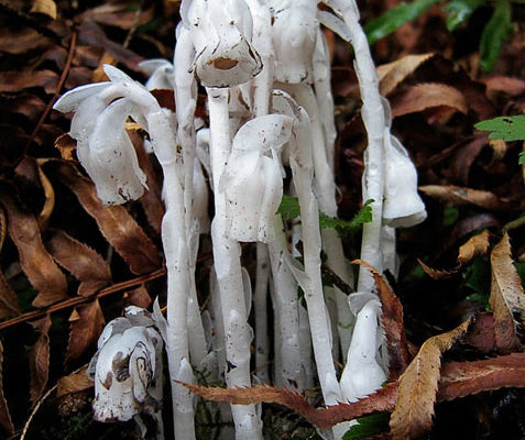 Indian Pipe wildflowers