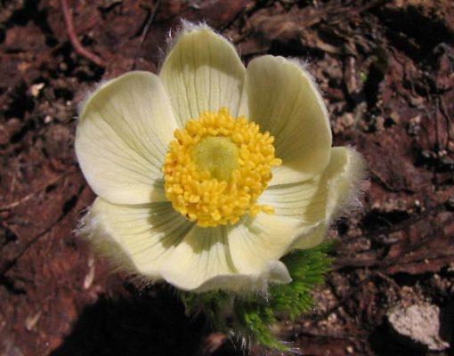 Western Anemone, Flower Stage