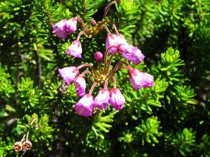 Pink Mountain Heather