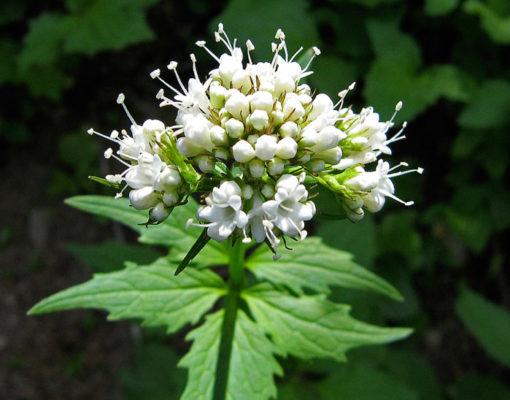 Sitka Valerian flowers