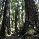 Giant firs on the Moss Lake Loop