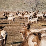 Herds of elk wait for feed