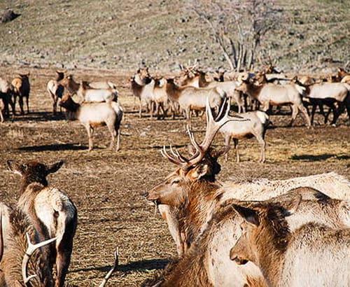 Elk in a field