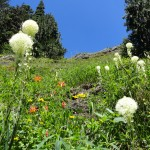 Bear grass and wildflowers along the Glacier View Trail