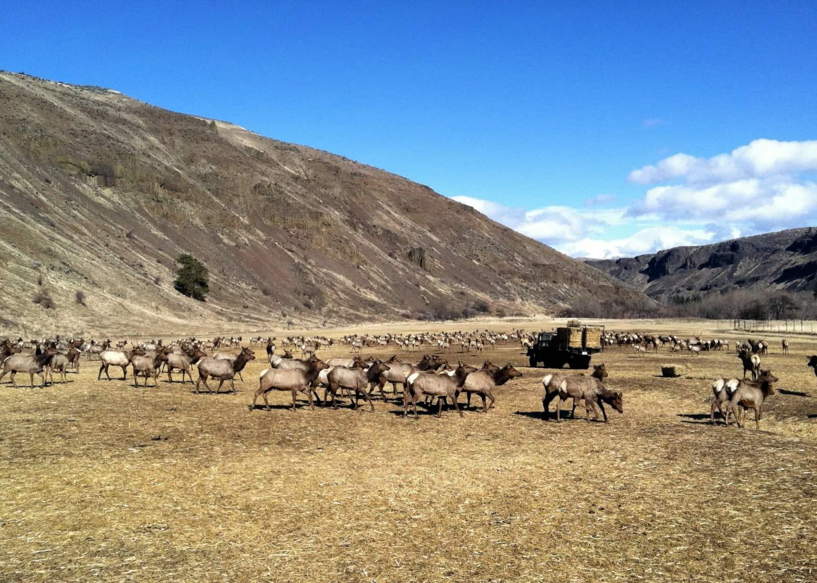 Feeding the elk