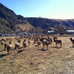 The Elk Await Feeding © Carrie Uffindell