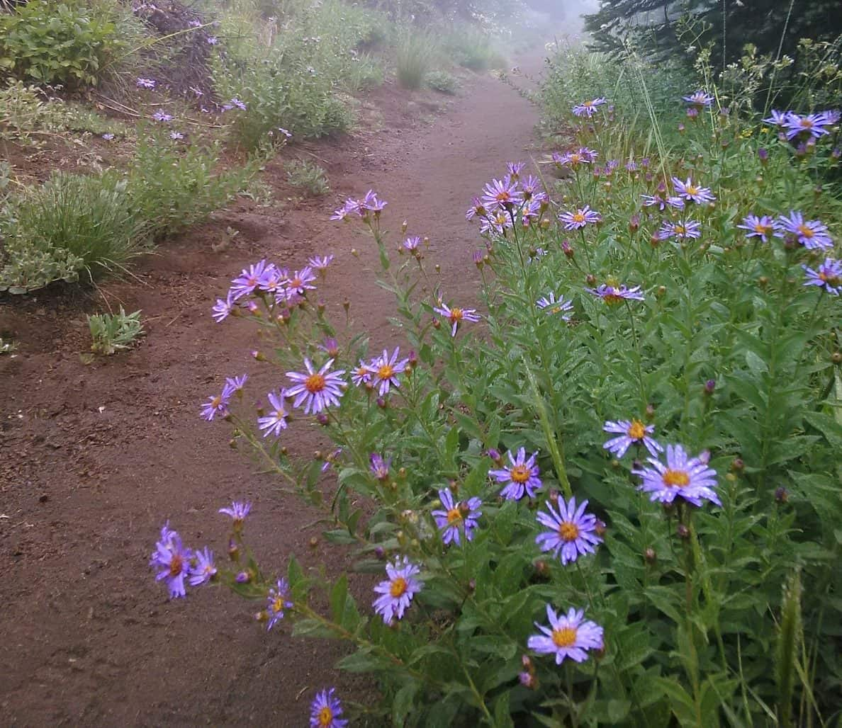 Alpine Aster Wildflowers