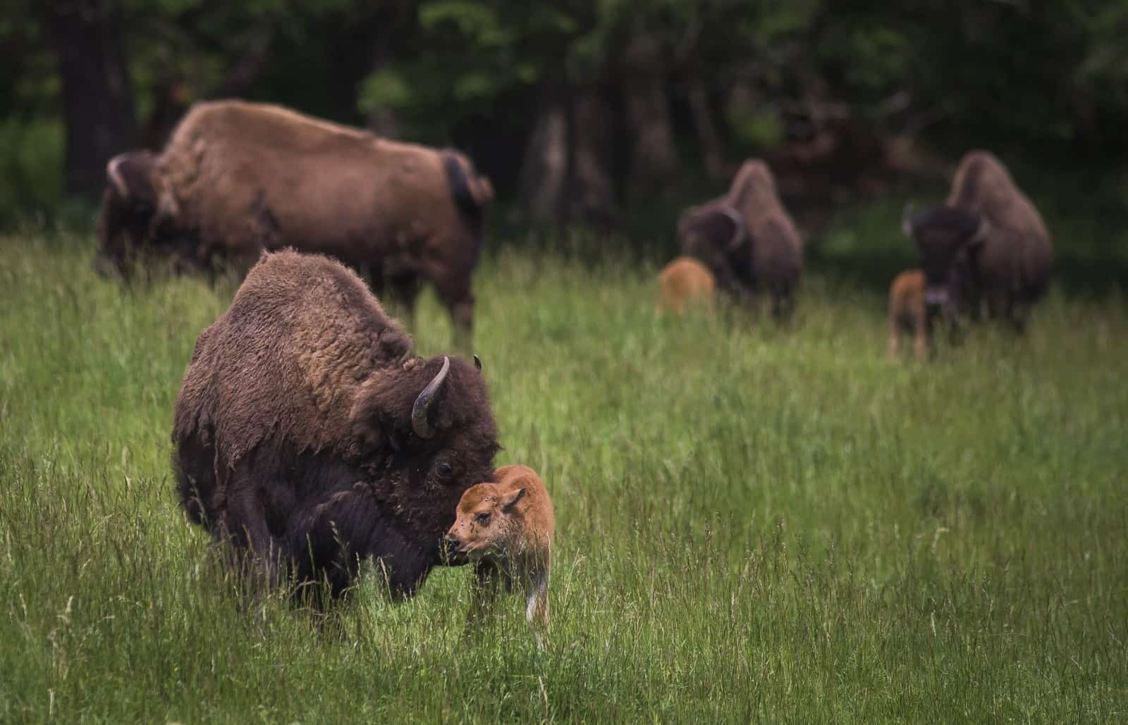 Bison with babies in a field