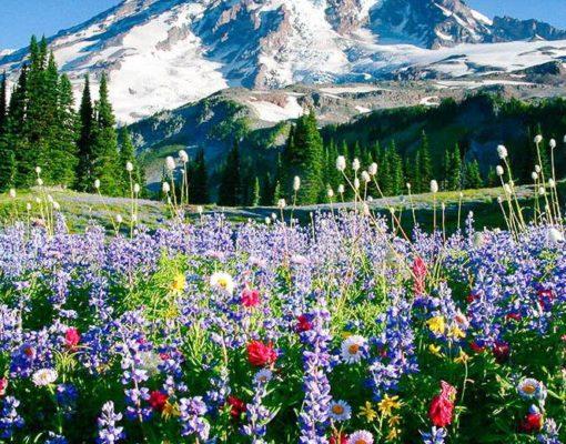 Mount Rainier above meadows of aster, lupine, paintbrush, and more near Paradise, Mount Rainier National Park, Washington, USA.