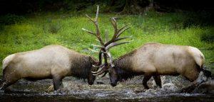 Elk Bugling Sparring