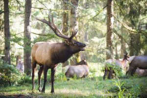 Elk Bugling Tours at Northwest Trek
