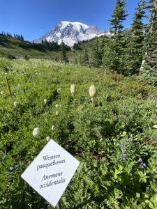 Western Pasqueflower Sign, Flower & Mount Rainier