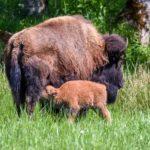 Bison Calf at Northwest Trek Wildlife Park