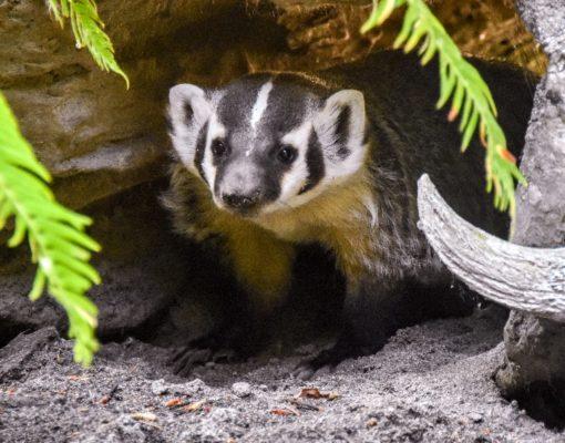 Orphaned Badger