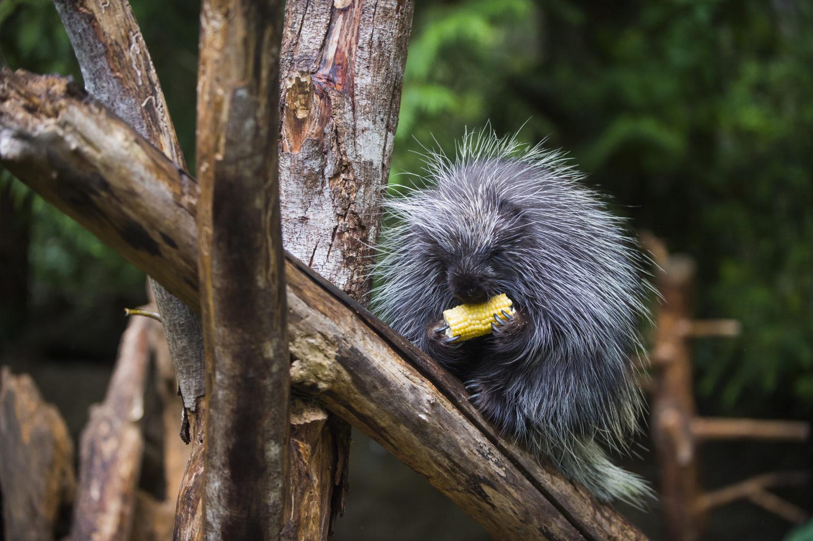 A porcupine enjoys a treat during Feeding Frenzy