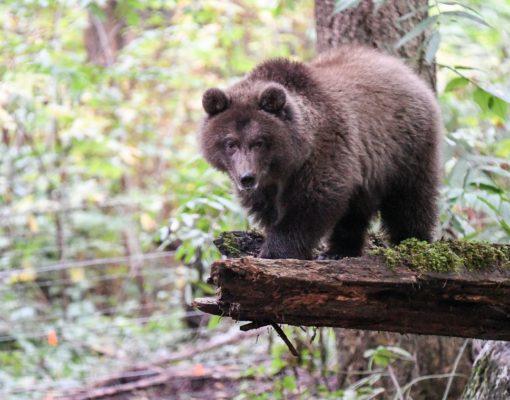 Grizzly at Northwest Trek