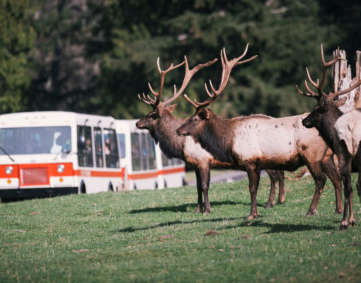 Elk herd in the foreground with a tram at Northwest Trek Wildlife Park in the background