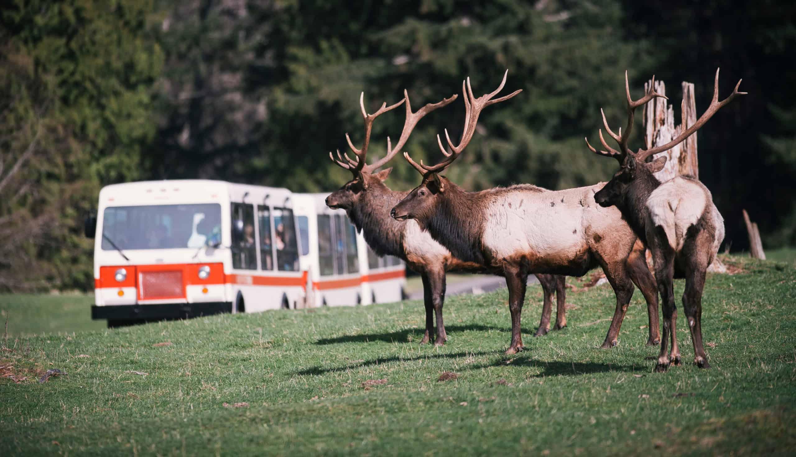 Elk herd in the foreground with a tram at Northwest Trek Wildlife Park in the background