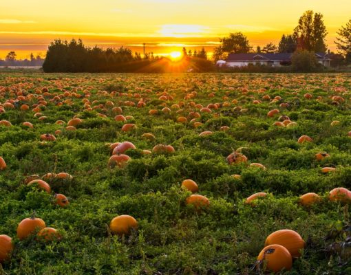 Maris Farms pumpkin patch