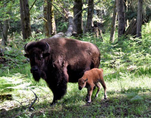 Baby Bison Calf at Northwest Trek Wildlife Park