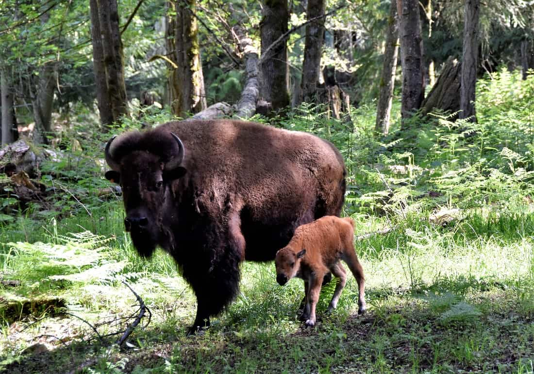 Baby Bison Calf at Northwest Trek Wildlife Park