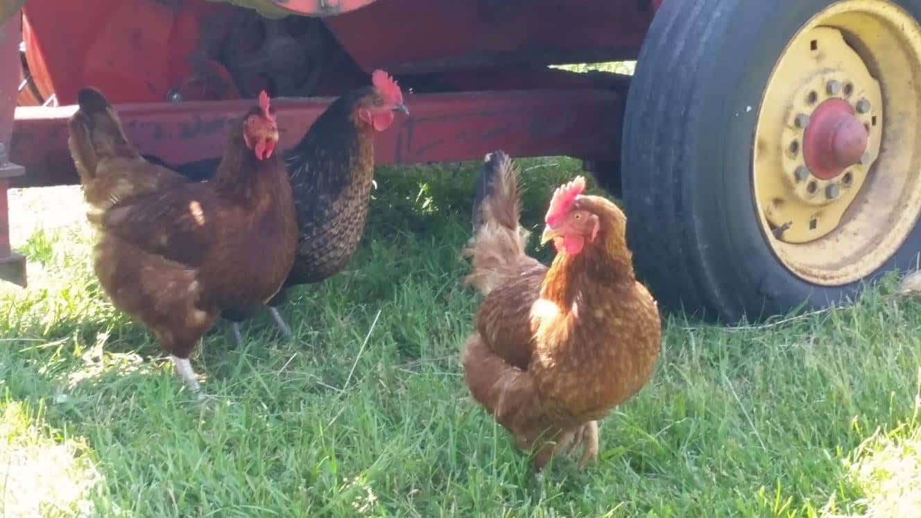Frey Family Farm Chickens