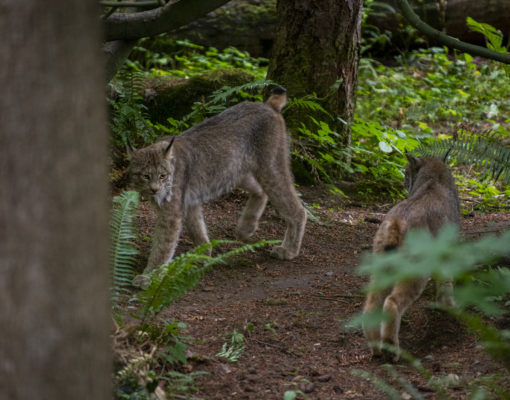 Lynx on Exhibit at Northwest Trek
