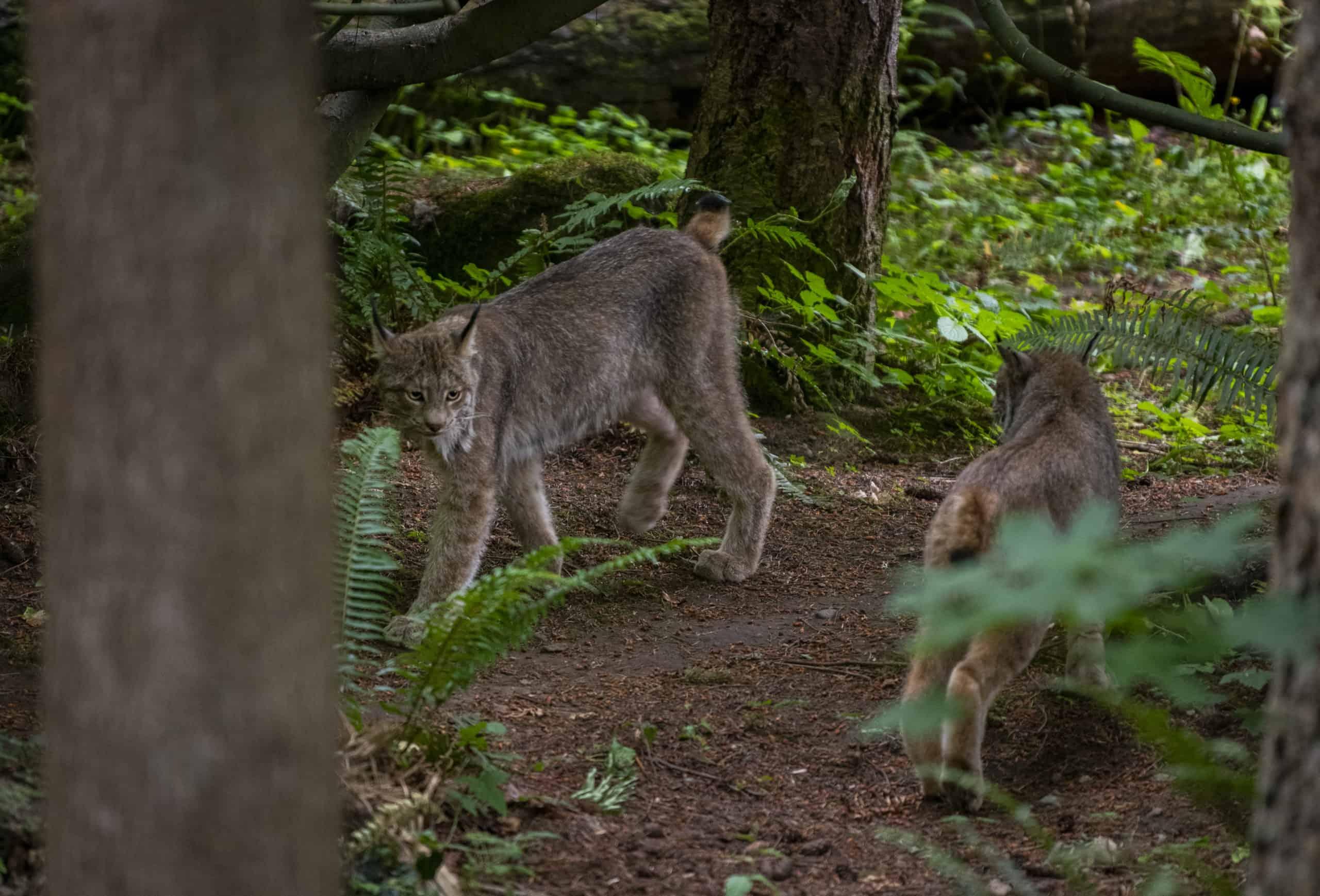 Lynx on Exhibit at Northwest Trek