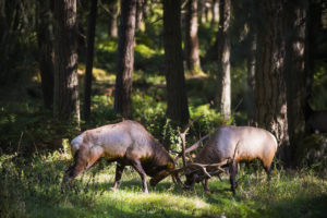 Elk sparring while in rut at Northwest Trek Wildlife Park