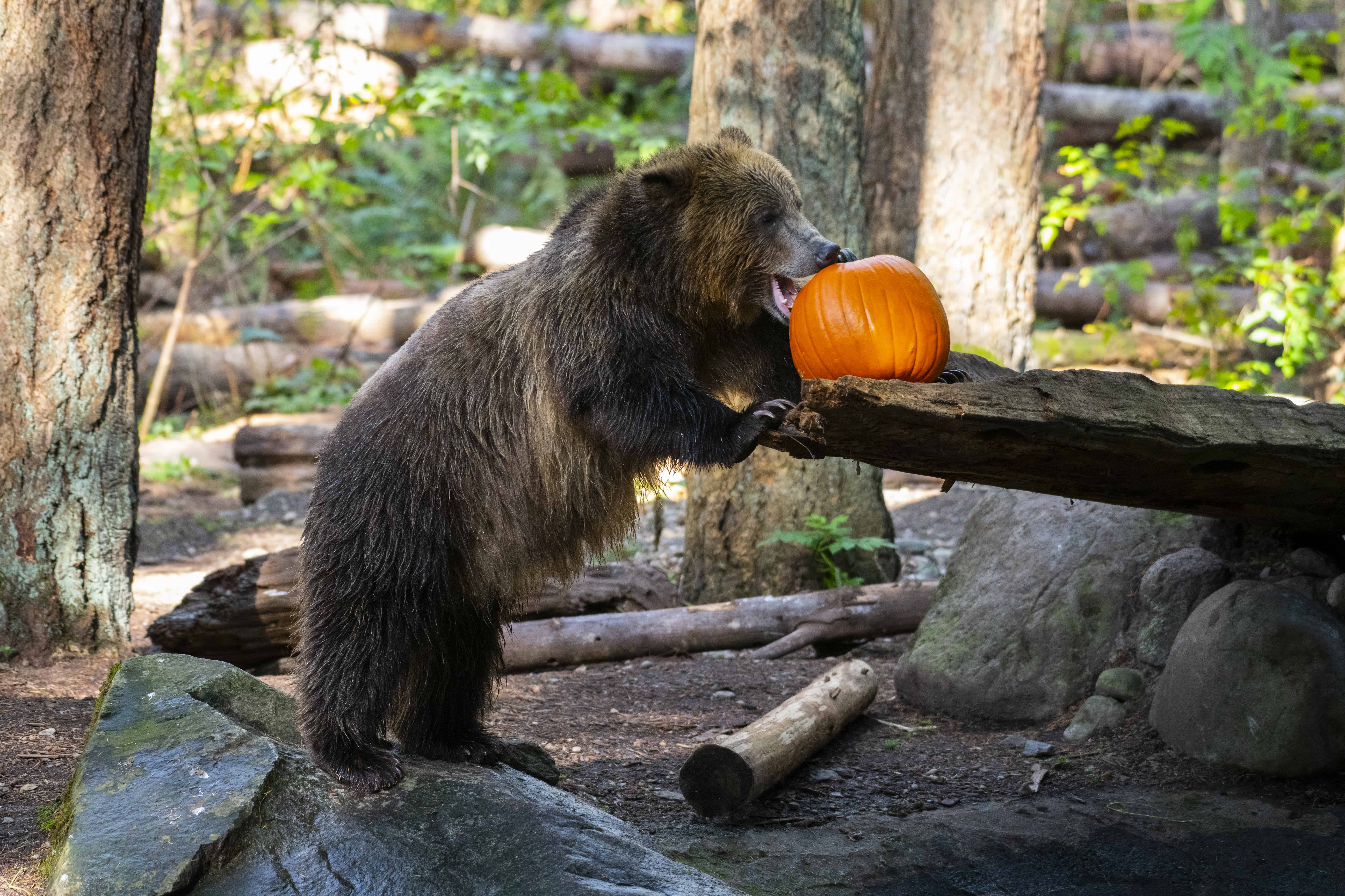 Grizzly Bear and Pumpkin