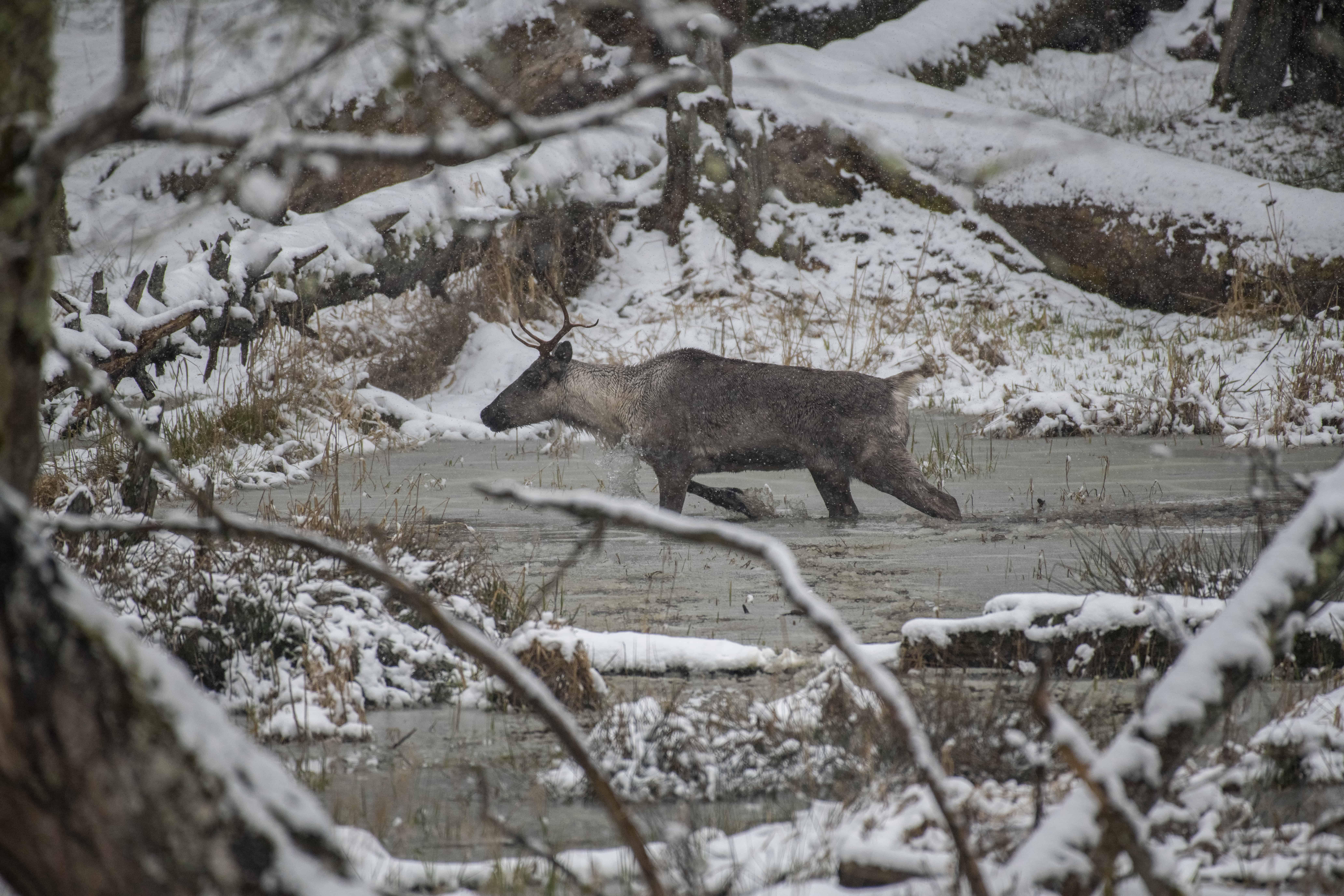 Caribou in a winter river